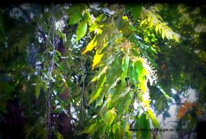 daun dan bunga Dipterocarpaceae di Kehutanan UGM